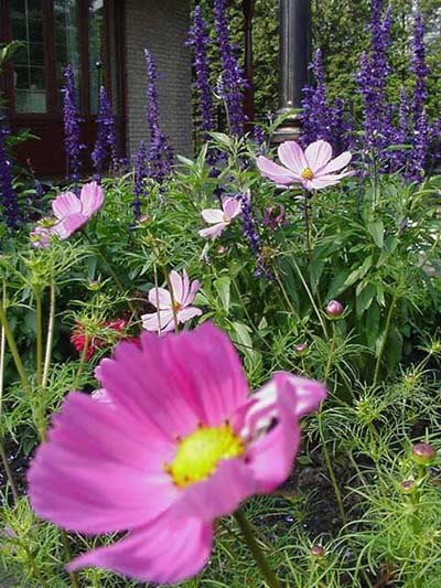 Cosmos sauge rudbeckies mon coin de jardin for Carte virtuelle mon coin de jardin
